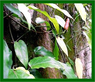 tumbuhan berkhasiat untuk obat