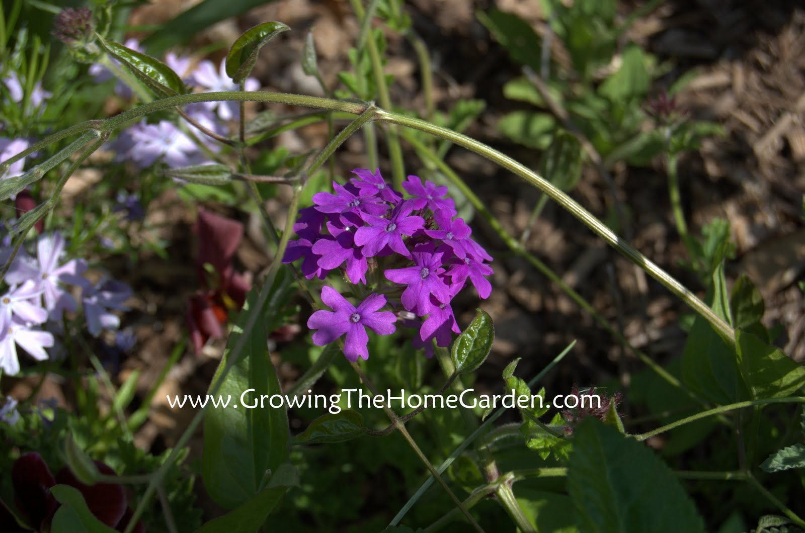 Purple%2BHomestead%2BVerbena%2Bblooming%2Bin%2BApril%2B4 2011 1 Former City of Homestead Assistant Manager Marleen Volkert has been ...