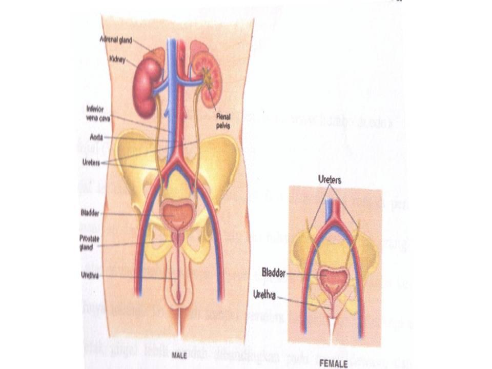 Anatomidan Fisiologi Traktus Urogenital