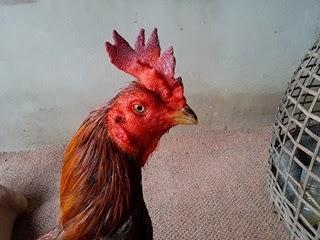 JF Galeri Jualan Ayam