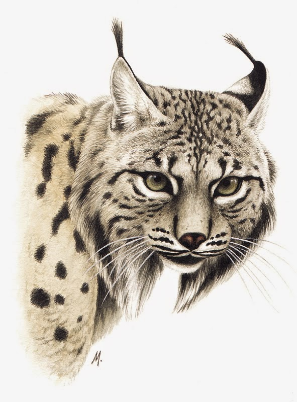 Iberian Lynx Drawing Lynx Pardinus Iberian Lynx