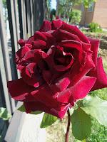 Foto de rosa roja.
