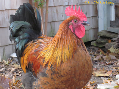 In July 2011, I hatched Max, a Black Copper Marans rooster, from an egg that was sent to me by Jen at Louden Farms. Before setting the eggs in the incubator, I knew I was going to have to re-home any roosters due to my neighbor's vocal aversion to crowing, but figured I'd generate an adoption plan for any roosters if and when it became necessary.