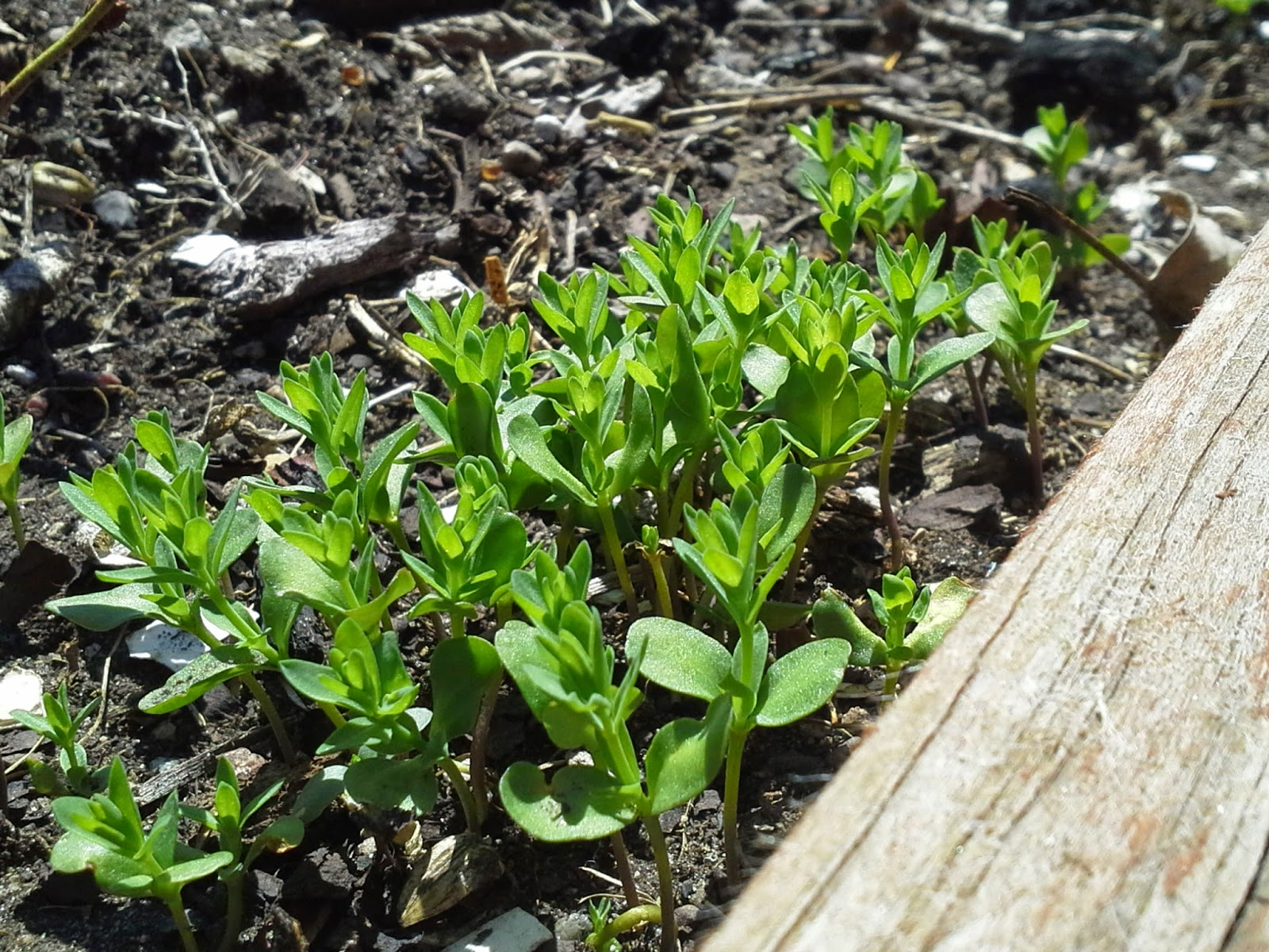Golden Flax seedlings