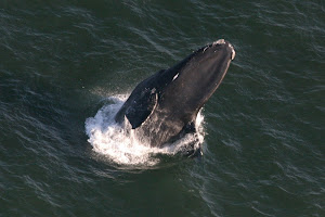 Aerial View of a Breaching Right Whale