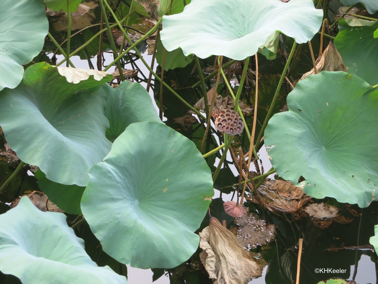how to grow lotus plant from seed