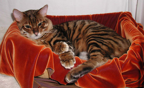 Toygers- Cat... Cat That Looks Like A Tiger Breed