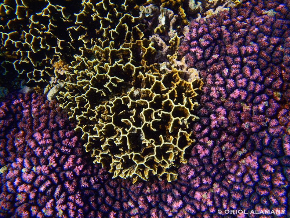 Corales Pocillopora sp. y Millepora sp. Isla de Socotra Yemen