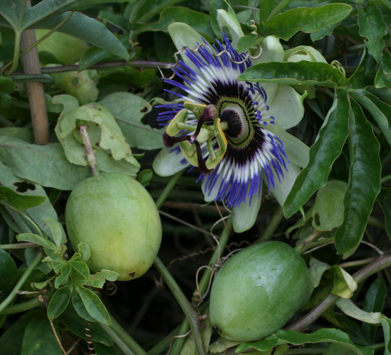 passionsblomst frugt
