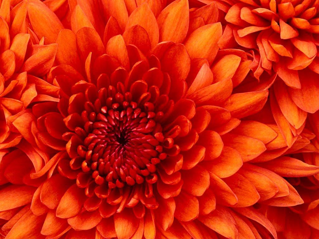 http://1.bp.blogspot.com/-efwkpYI4fQU/T0WQD1u-flI/AAAAAAAA7Tg/Cba9_XD1kEw/s1600/Chrysanthemum.jpg