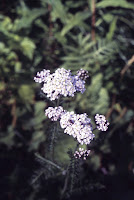 yarrow, Achillea millefolium,  Asteraceae, sunflower family