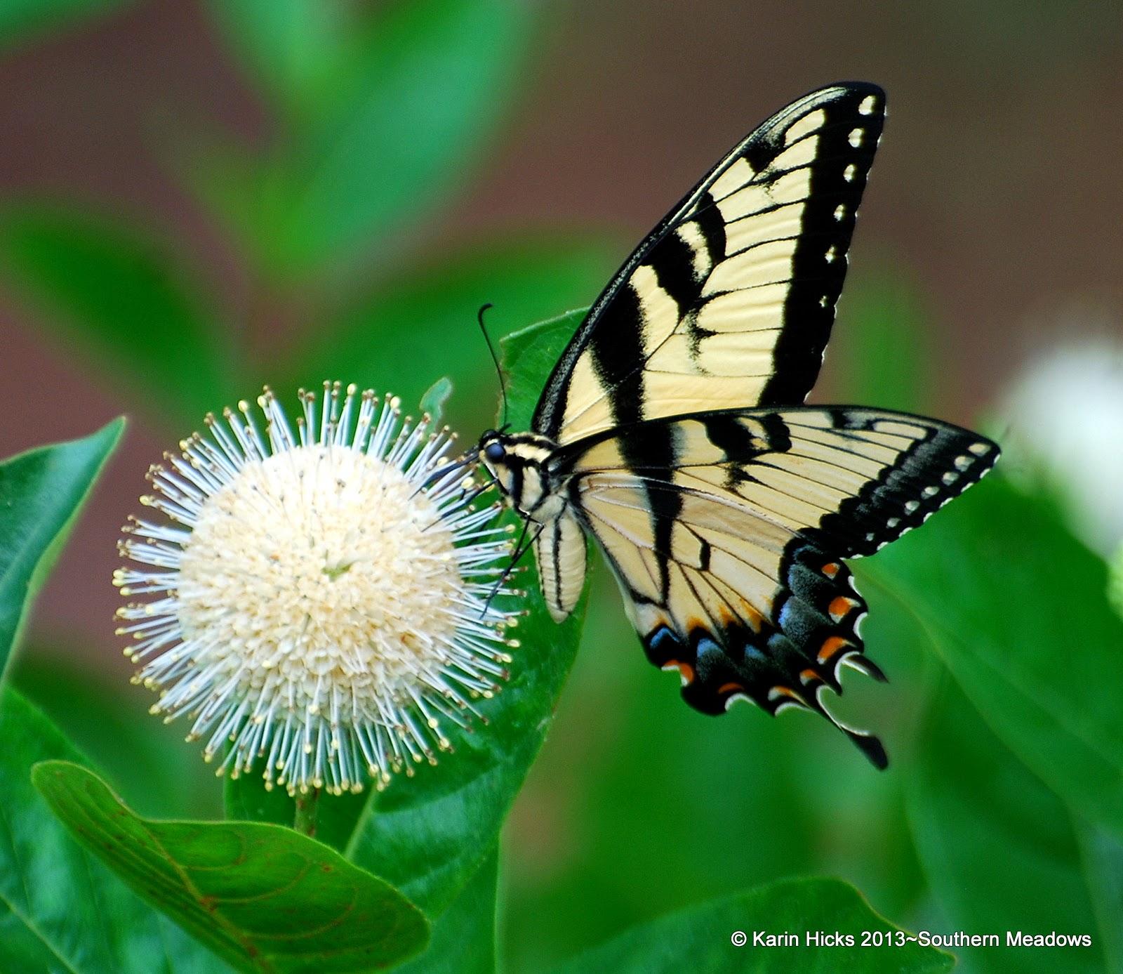 Eastern Tiger Swallowtail butterfly on button bush bloom