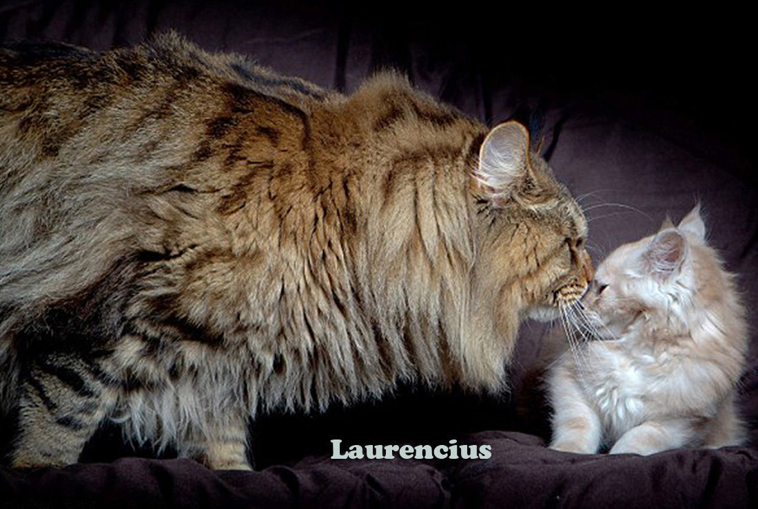 Download image mammoth maine coon cat pc android iphone and ipad