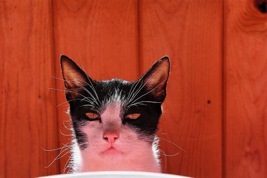 Cat from Mugeni Romania