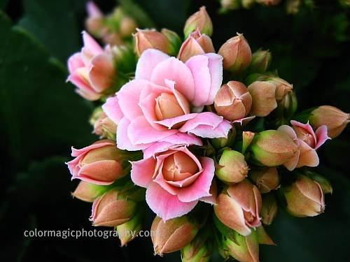 Kalanchoe Blossfeldiana-flower cluster