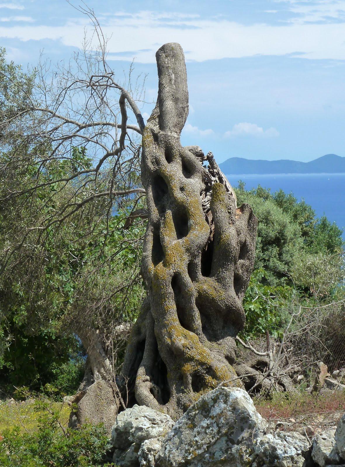 Olivenbaum auf Lefkada (Lefkas)