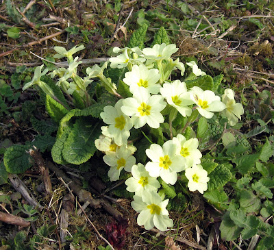 Primroses on Primrose Bank, Cudham Valley