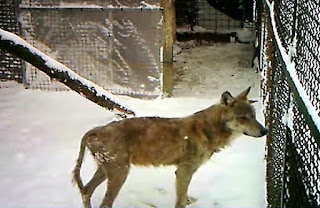 Frozen Wolf, rescue, dog rescue