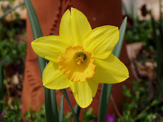 The beauty of a daffodil