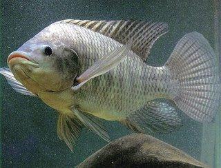 Nila (Oreochromis Niloticus)