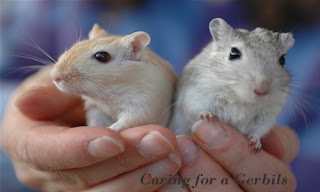 Caring for a home pet Gerbils
