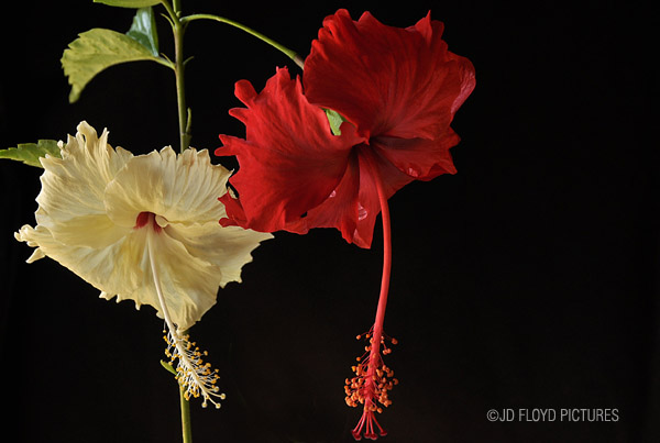 August 2012 the bunga raya hibiscus rosa sinensis is on the right ccuart Gallery