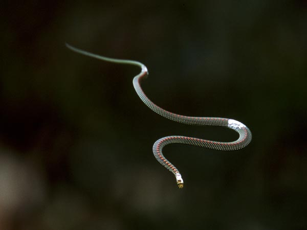 flying-snakes-studied_29256_600x450.jpg
