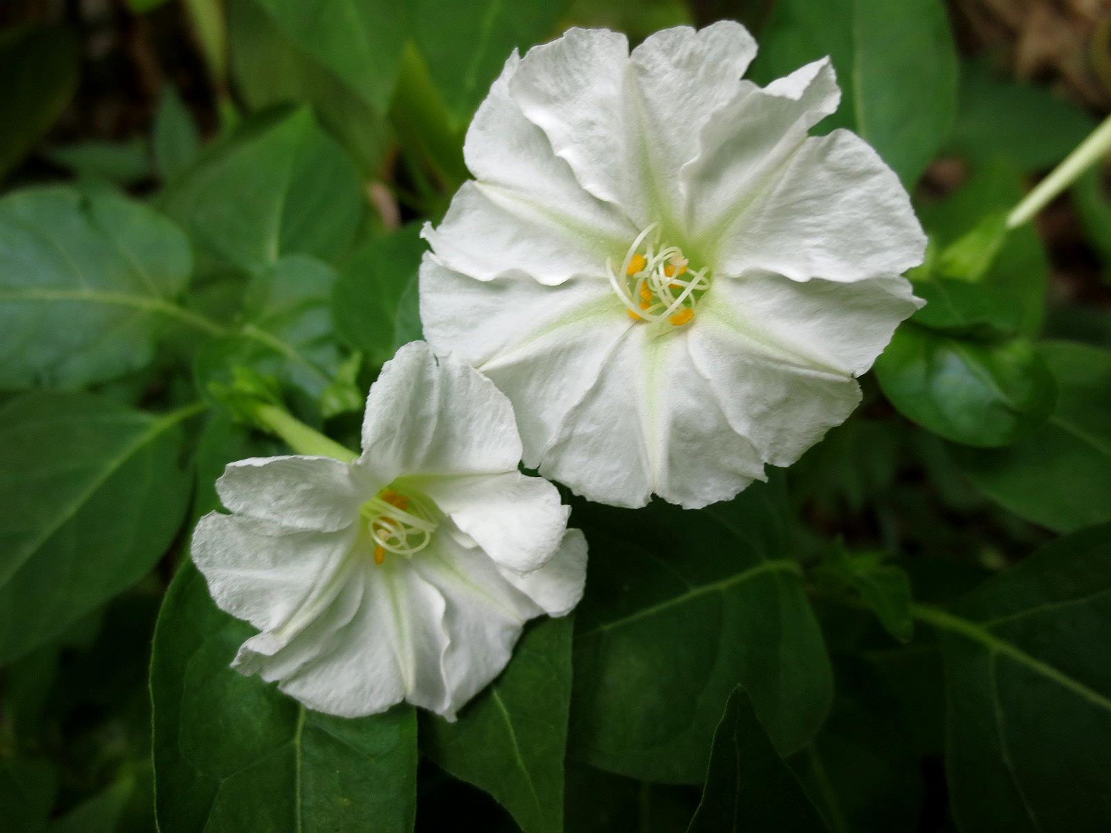 Why night blooming flowers are white choice image flower why night blooming flowers are white choice image flower why night blooming flowers are white choice mightylinksfo