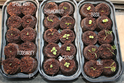Indoor herb garden seedlings almost ready to transplant