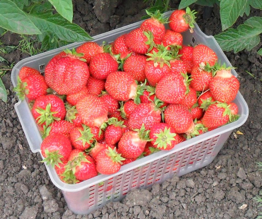 Отборная ягода в пластиковом 5л контейнере