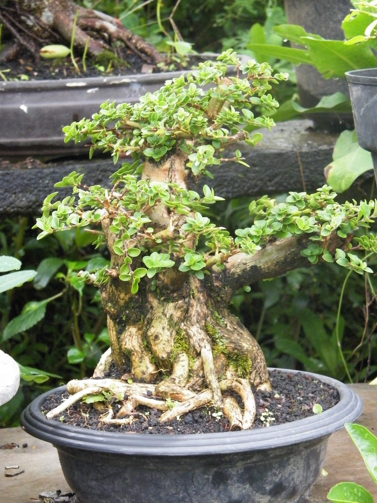 GALERY BONSAI MALANG Koleksi Bonsai Part 1