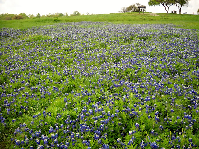 Field of beautiful Bluebonnets at White Rock Lake, Dallas, Texas