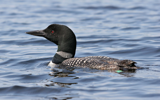 common loon in flight. hair common loon drawing.