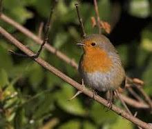 Mi buen Robin