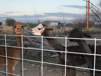 Skinny, sheared alpacas