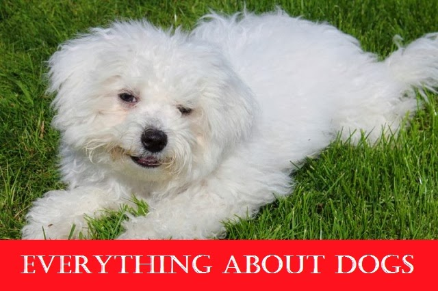 Fluffy white dog breeds dog breeds for Fluffy little dog breeds