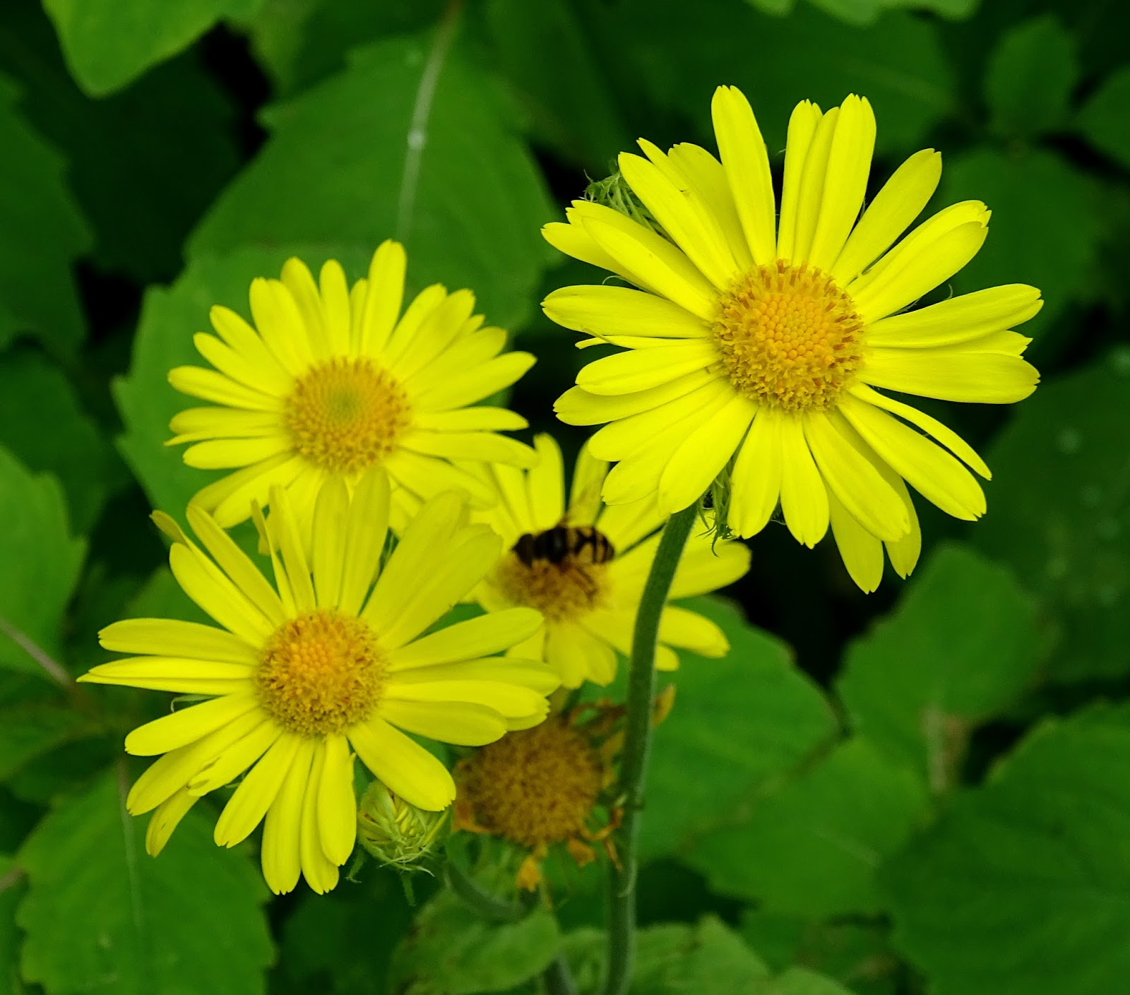 Notes From Halibut Point The Daisy Family Part 1