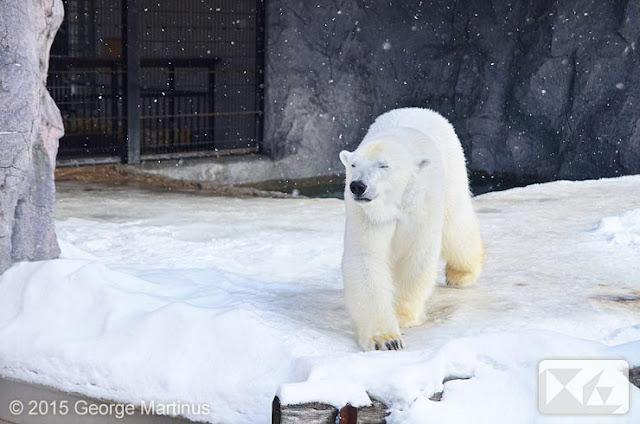 Beruang Salju