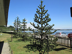Chiloe Trees