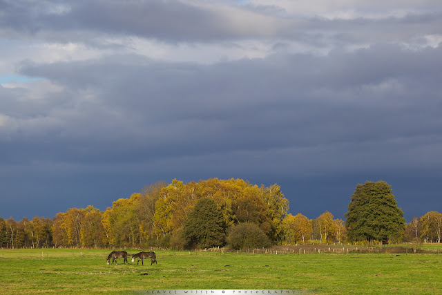 Horses in low sunlit meadow against forest in fall colors