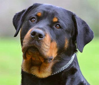 Fotos de cachorros Rottweiler