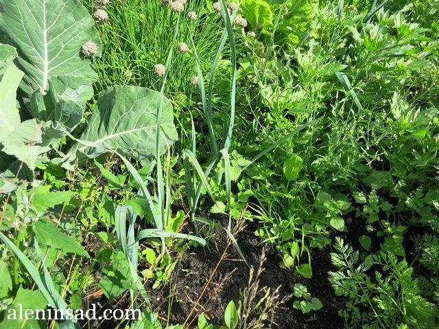 аленин сад, конец июля, без ухода, огород, лук-порей