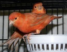 Tips cara perawatan burung kenari