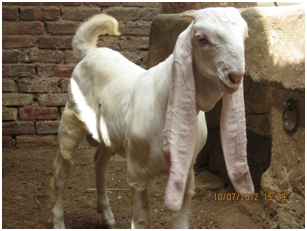 teddy goat online