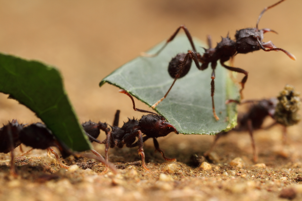 Leafcutter ants in g