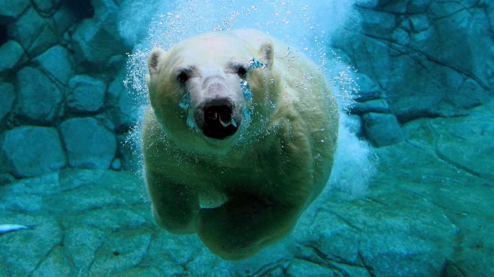 polar bear swimming underwater wallpaper