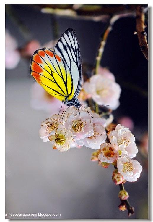 Con bướm xuân 5