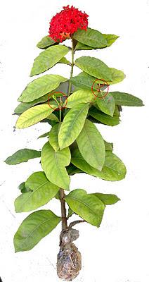 ixora plant propogation