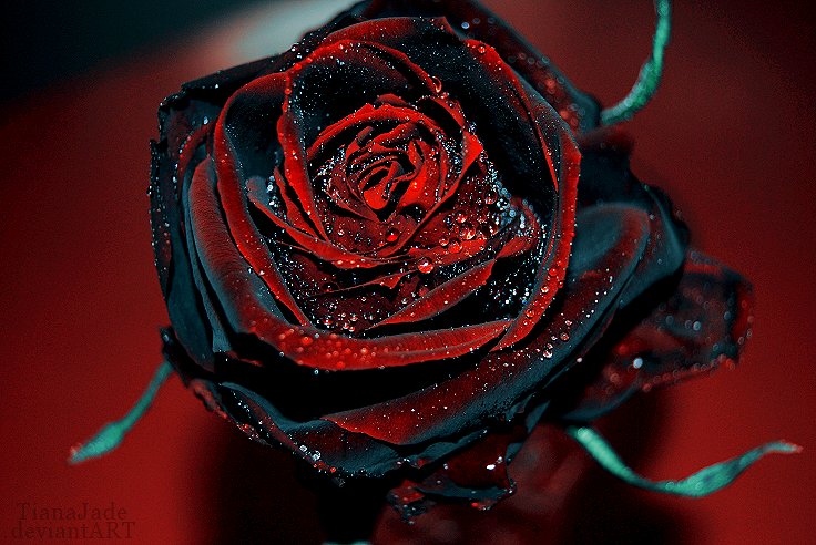 Black rose pict amazing wallpapers for How to make black roses