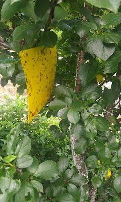 rumene lepljive plošče